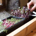How to grow microgreens from seed